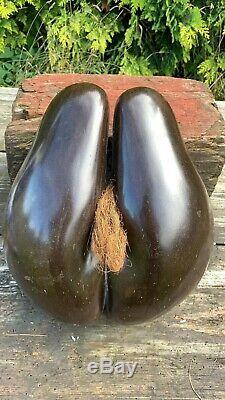 Anciennes Rare Originale Coco De Mer Seychelles Double Nut Seed